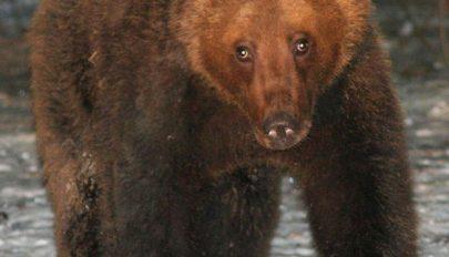 Időjós medv