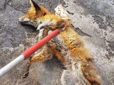Nem volt veszett a róka