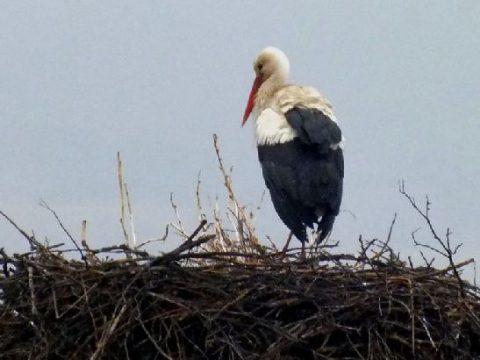 Érkeznek a gólyák