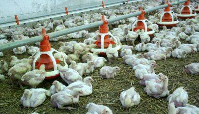 Újabb panaszok a farmra