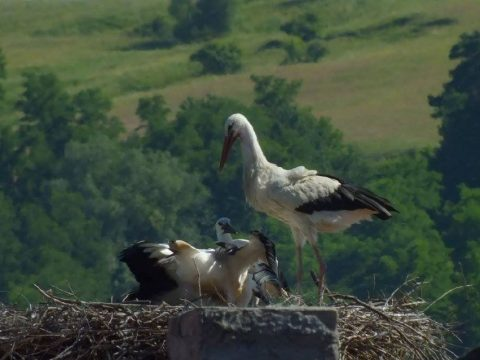 Sebesült gólya Köpecen