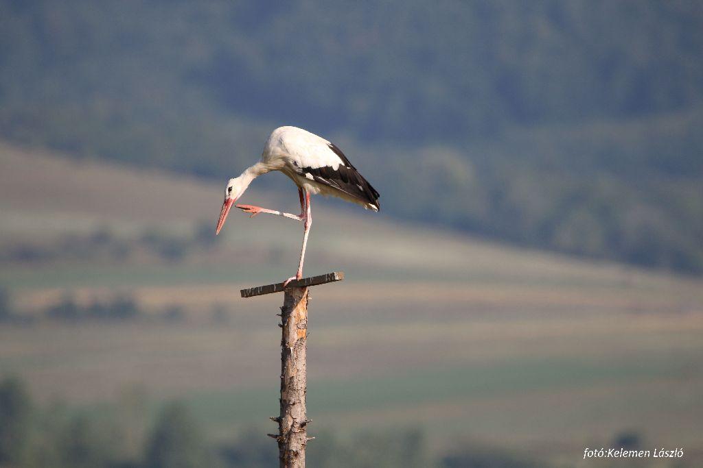 Pihenő gólya