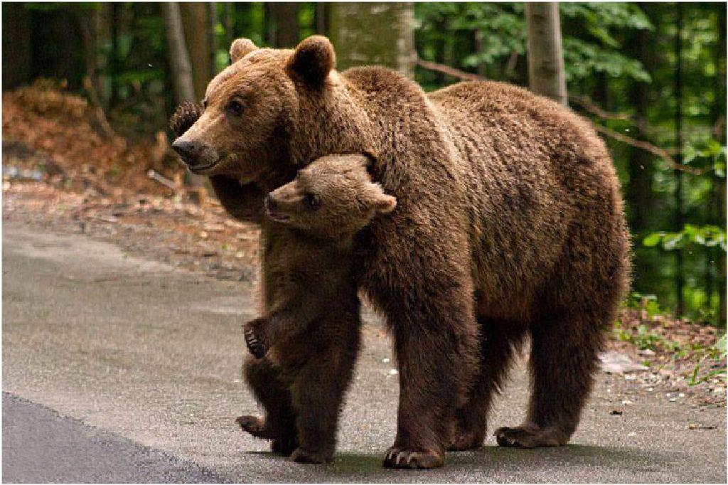 Egyelőre zűrös a medvekérdés. A téli álom lesz a megoldás?
