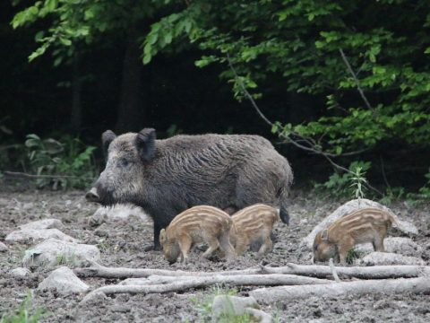 Medvelesen és őzbakvadászaton Erdőfülén