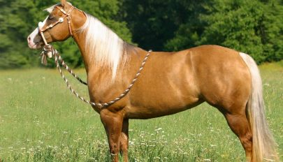Az amerikai quarter horse