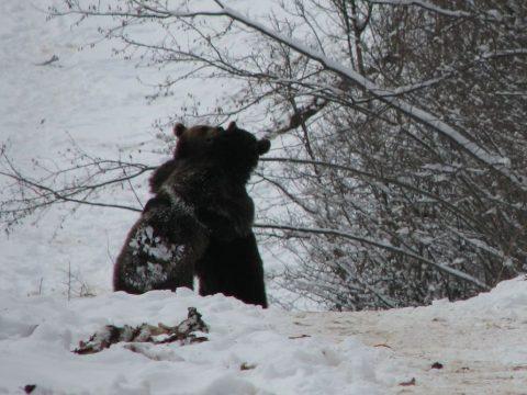 Bocsoznak a medvék