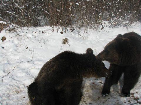 A határban a medvék