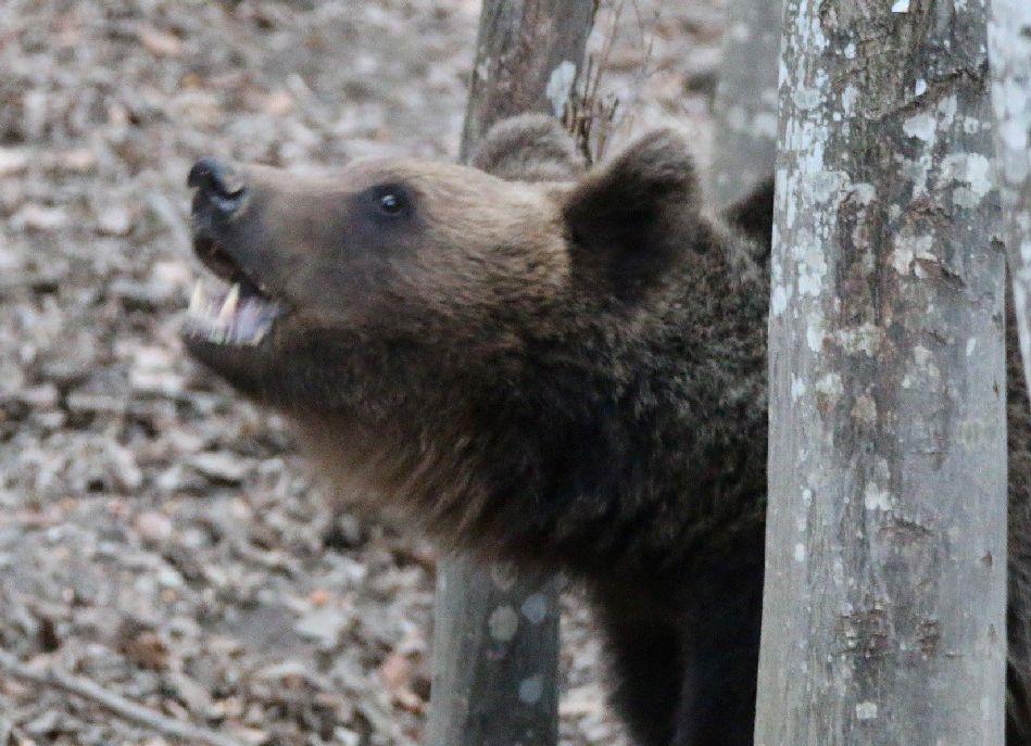 Egyetértettek abban, hogy a medvék el vannak szaporodva és vissza kell állítani az egyensúlyt Fotó: Kelemen László
