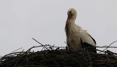 Az első gólya
