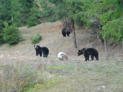 Kétezerrel több medve van