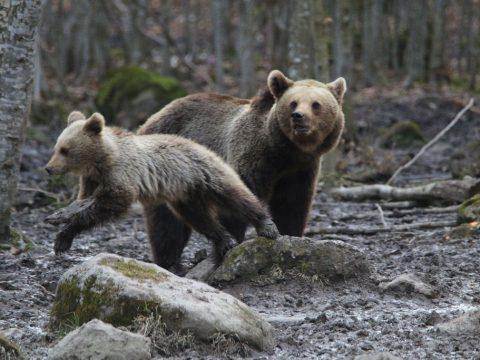 Medvemegfigyelő nap