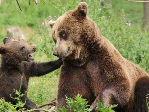 Minden napra egy medve