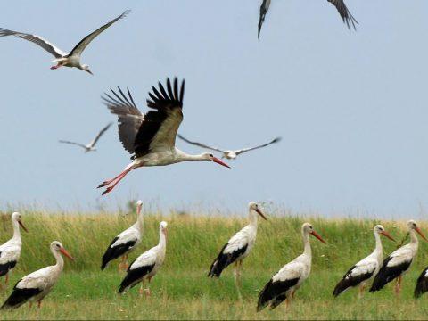 A gólyákról…