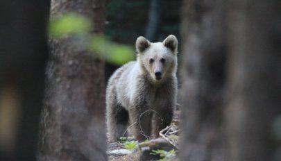 Üzekedő őzek helyett medvék