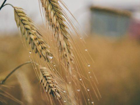 Vége az aratásnak