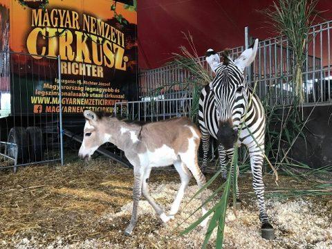 Zebraszamár született a budapesti cirkuszban