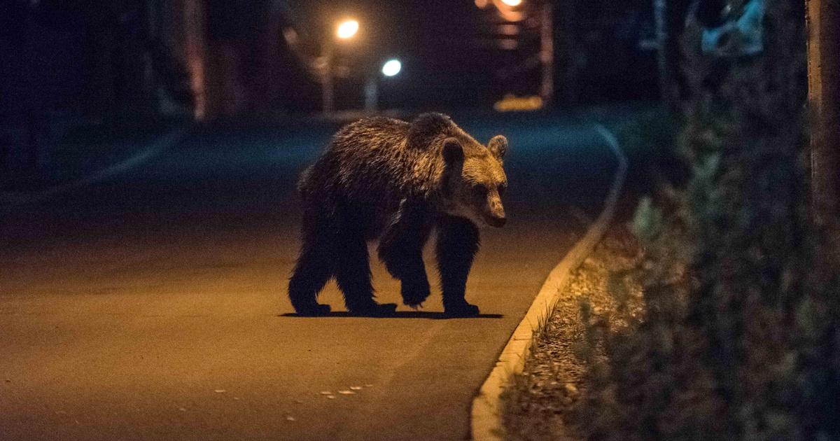 Medvék Tusnádfürdőn: újabb két ember került kórházba
