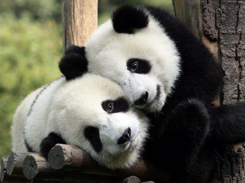 Nem tudja a panda, hogy ikrei születtek