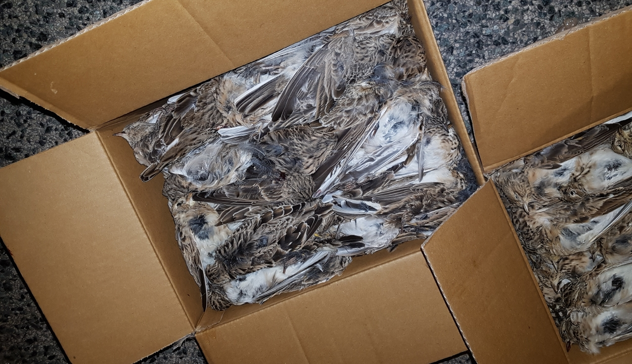 Több mint 2500 védett madár teteme került elő egy román autóból Magyarországon