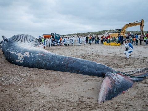 Hatalmas bálnatetemet sodort partra a tenger Belgiumban