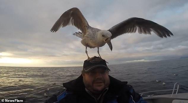Leszállópályának használta a horgász fejét egy sirály