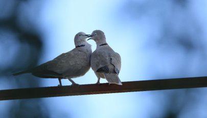 Gerle-szerelem