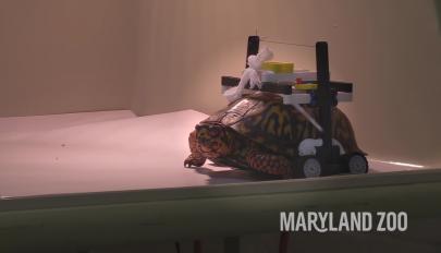 Legóból építettek kerekesszéket a sérült teknősnek