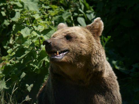 Saját udvarukon támadt rájuk a medve