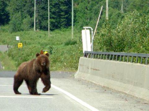 Négy autó gázolt el egy medvét az A1-es autópályán