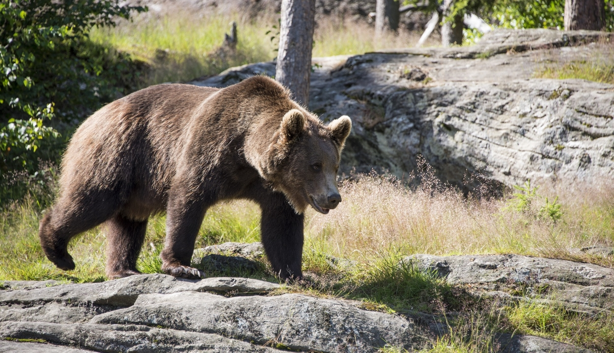 Megszavazta a szenátus a medvevadászat tilalmának ideiglenes feloldását