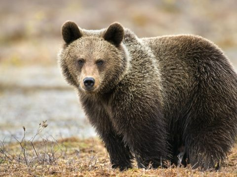 A kórház parkolójából űzték el a medvét Csíkban