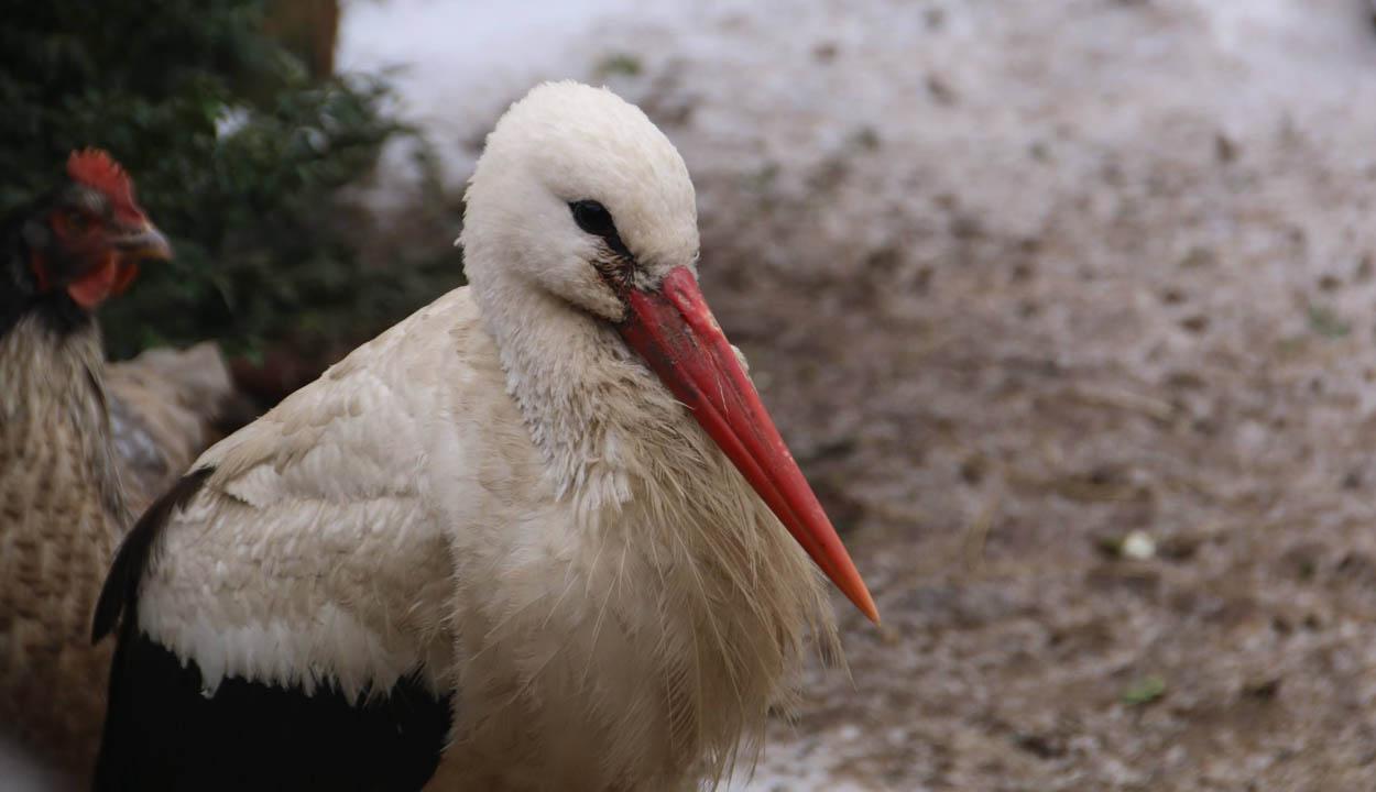 Visszamaradt gólyák