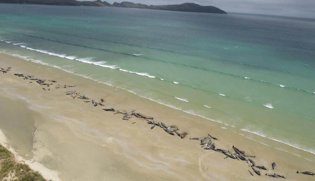 145 delfin vetődött partra és pusztult el Új-Zélandon