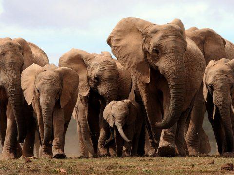 Elefántkölyköt mentettek meg az orvvadászok csapdájából