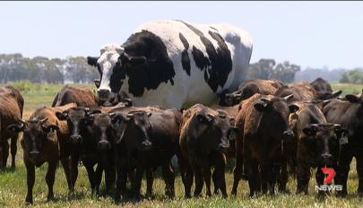 Ausztráliában él a világ legnagyobb marhája