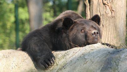 Elpusztult Max, Románia legtöbbet szenvedő medvéje