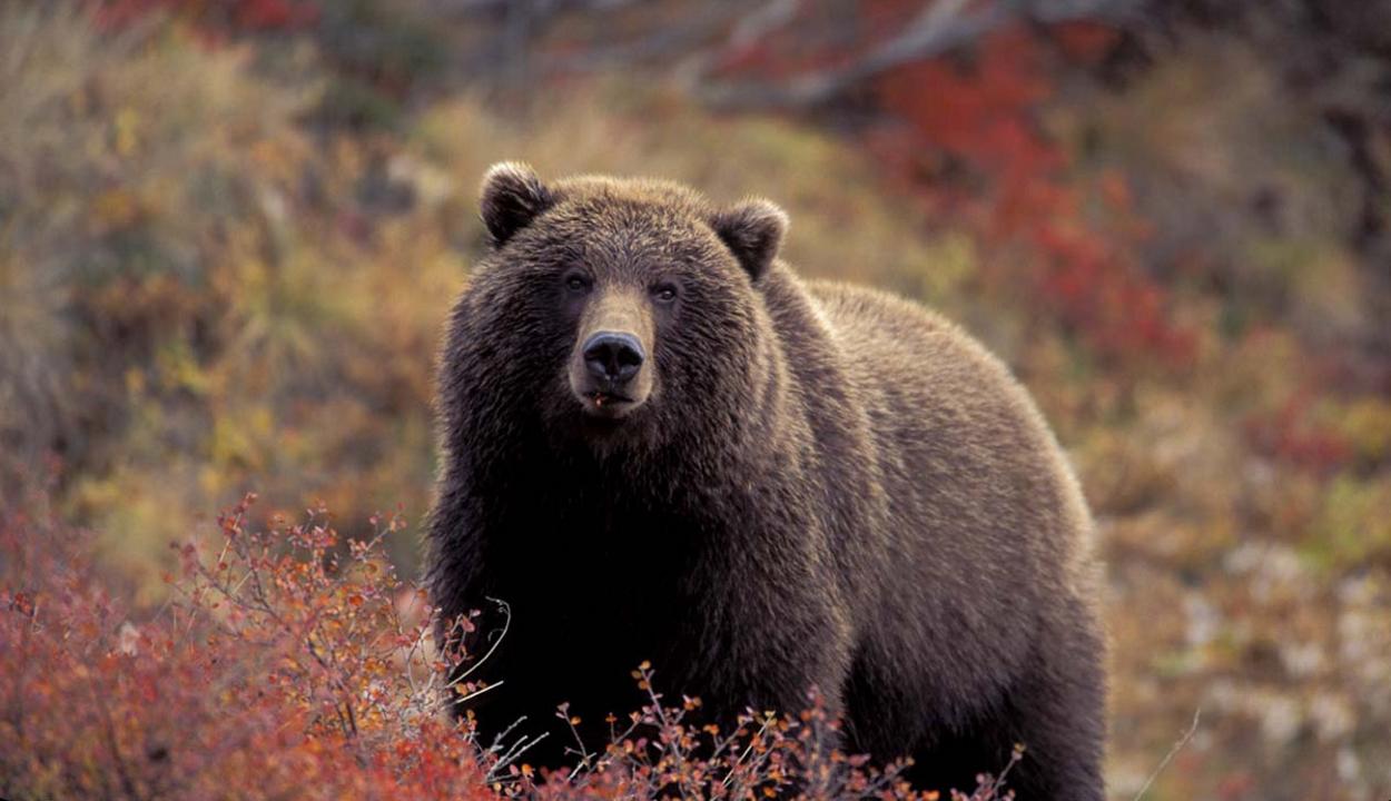 Medvéket gázoltak el Szeben megyében, ellenőrizhetetlenné vált a helyzet