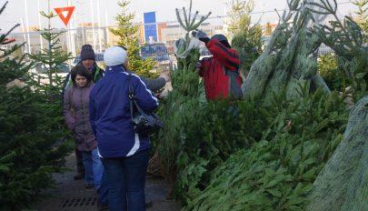 Negyvenezer karácsonyfának való fenyőt bocsát áruba idén a Romsilva