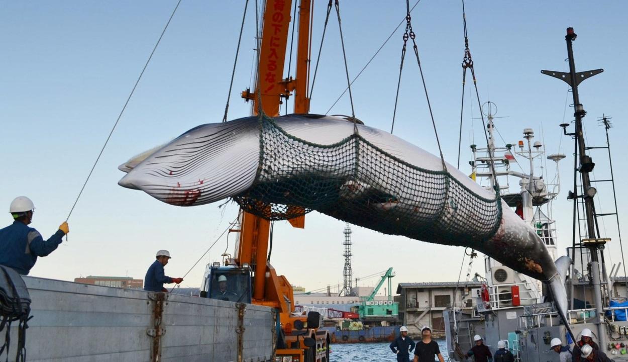 Japán 30 év után újra engedélyezi a bálnavadászatot