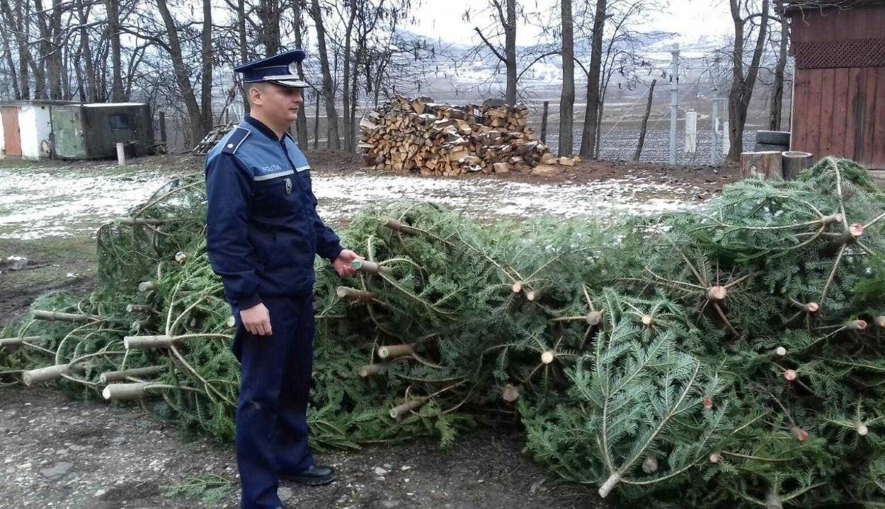 Több mint kilencezer karácsonyfának szánt fenyőt kobozott el a rendőrség