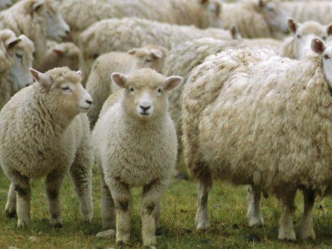 Sót nyaldosó juhok miatt állt a forgalom egy európai úton