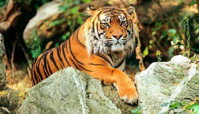 Rekordot jelentő csaknem 1300 kilométert tett már meg egy tigris Indiában