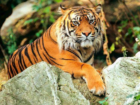 Néhány éven belül kihalhatnak a tigrisek