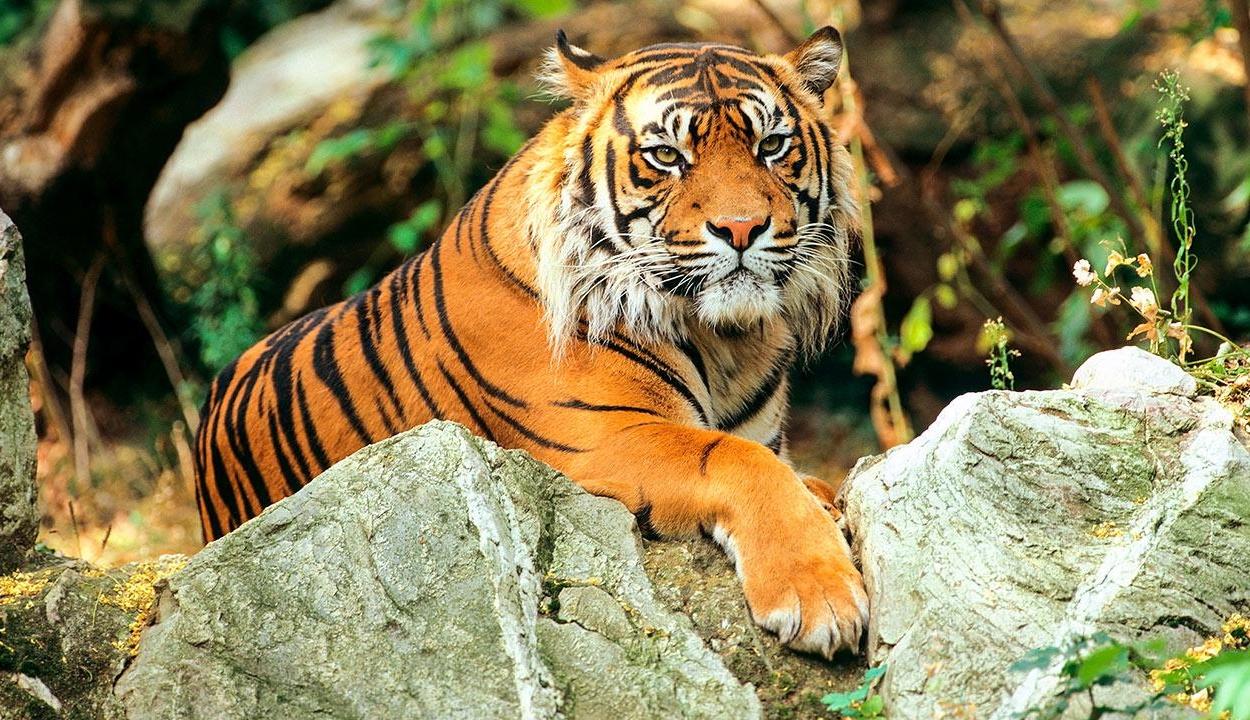 Egy látogató szeme láttára marcangolta szét gondozóját a tigris