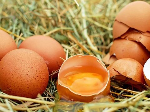 Génszerkesztett tyúkok tojásából készítenek rákgyógyszert