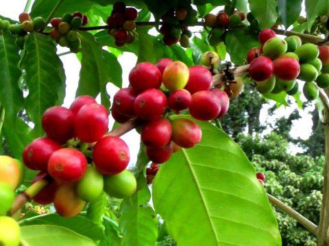 Kihalás fenyegeti a vadon termő kávét