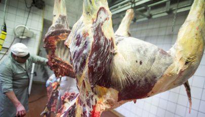 Fertőzött lóhús miatt vizsgálódnak