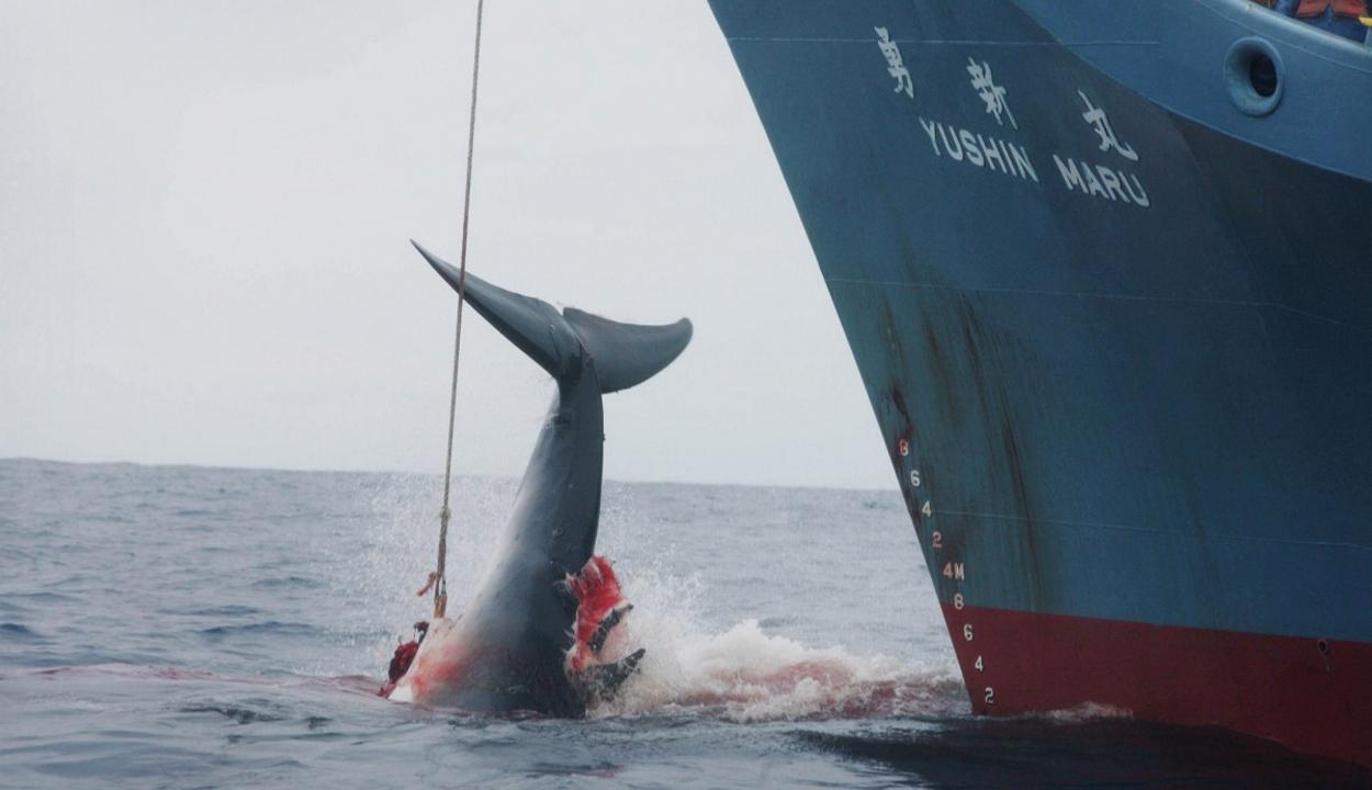 Kilónként 165 eurót is adtak a trópusi bálna húsáért Japánban