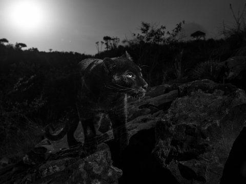 Száz év után sikerült lefotózni a ritka afrikai ragadozót