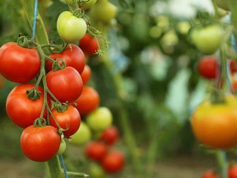 Más zöldségekre is kiterjeszti a Paradicsom programot a mezőgazdasági minisztérium